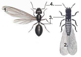 Disinfestazioni termiti e formiche con le ali Brindisi e provincia.