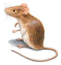 Piccolissimi topolini in casa cosa fare?