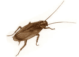 Come eliminare gli insetti fuochisti o blattella germanica