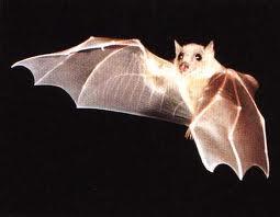 Malattie provocate dai Pipistrelli. Allontanamento pipistrelli con sistemi ad ultrasuoni.