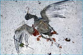 guano dei piccioni e malattie