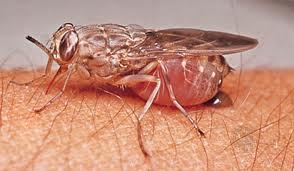 Malattie causate dalle mosche