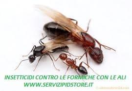 Formiche con le ali da dove vengono trattamento marmo cucina - Invasione di formiche in cucina ...