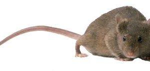 Escrementi di topo in casa, cucina giardino cantina cosa fare?