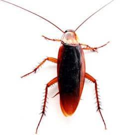 Da dove vengono gli scarafaggi disinfestazione scarafaggi - Da dove vengono gli scarafaggi in casa ...
