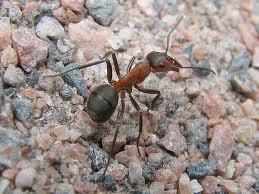 Malattie trasmesse dalle formiche, disinfestazione formiche.