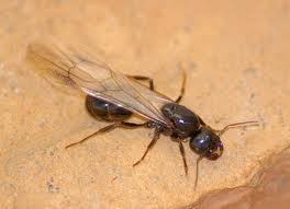 Vendita insetticidi contro le termiti e formiche alate for Formiche volanti in casa