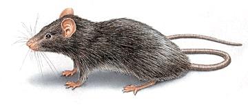 Eliminare topi dal giardino - Eliminare topi dal giardino ...