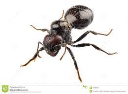 Disinfestazione formica nera lasius niger