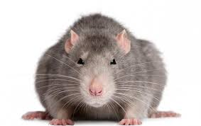 Ratti e topi giganti, resistenti ai veleni.