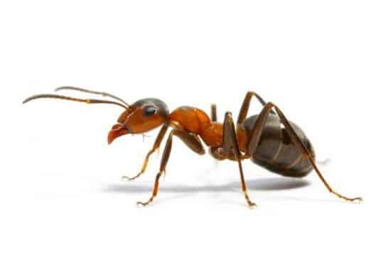 Veleno potente contro le formiche.