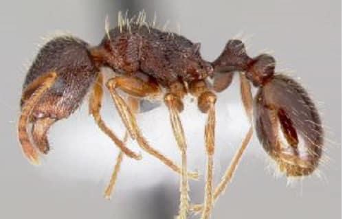 Formiche alate o rosse in casa rimedi per eliminarle for Formiche volanti in casa