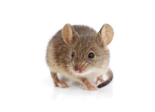 Come eliminare il  topo delle case