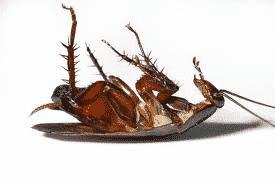 Blatte e scarafaggi disinfestazione e prevenzione