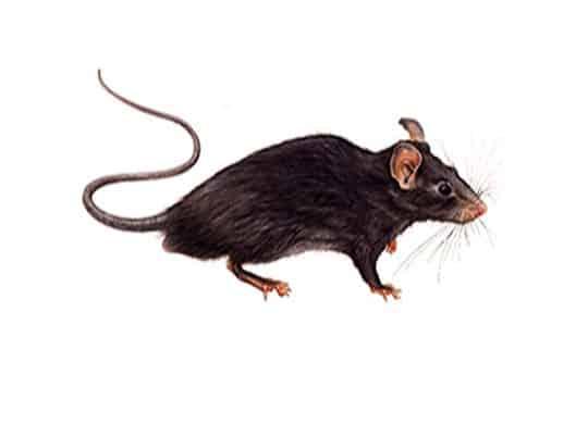 Ratto nero roditore dei tetti