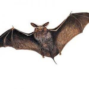 Pipistrelli in casa
