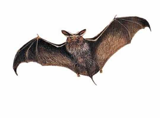 Pipistrelli in casa attenzione agli escrementi urina e morsi for Formiche volanti in casa