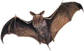 Risultati immagini per pipistrelli