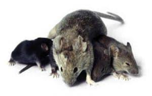 INFORMAZIONI SU TOPI E RATTI