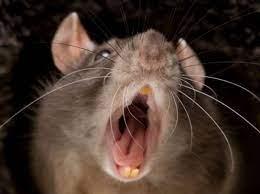 Perchè i topi fanno paura?